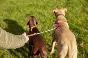 Ochrona psa przed pchłami